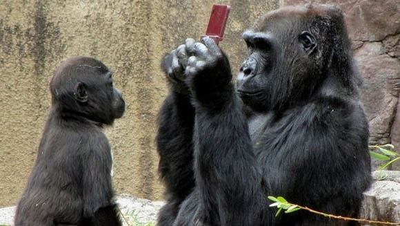 Captured in the wild, this photo shows the precise moment when this gorilla decided it was time to go from reading text on his phone to a larger-screened device