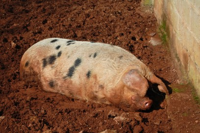 """A Gloucestershire Old Spots pig will be named """"Lost for Words"""" as part of Edward St. Aubyn's prize. ©Maisna. Via Shutterstock."""