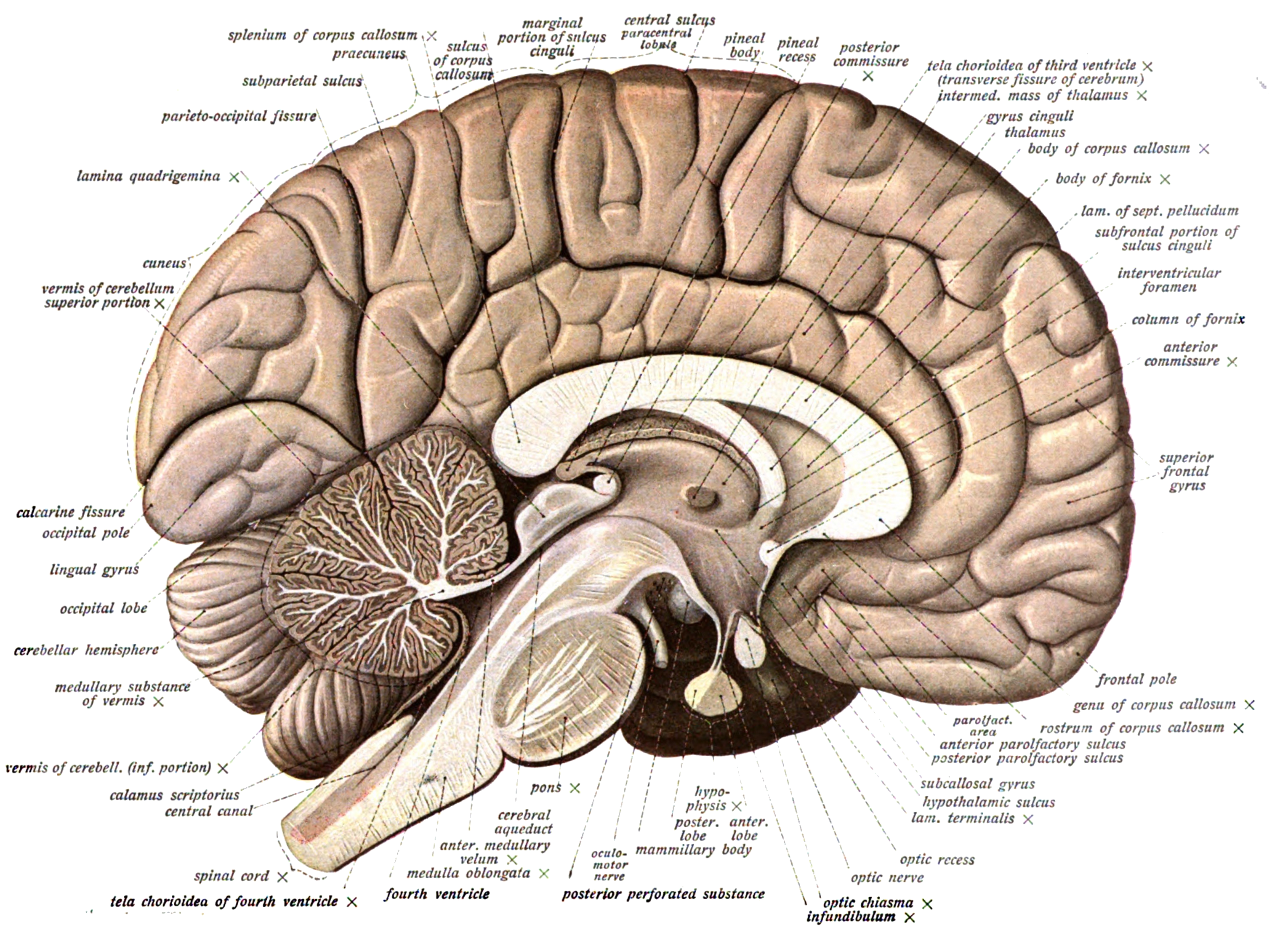Labeled Brain Diagram Fissures - Block And Schematic Diagrams •