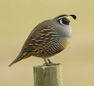 California just gave academic publishers the bird. Specifically, the California quail, which is about as insolent and imperturbable a bird as you can imagine. Image via Wikipedia.